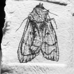Franny-Swann-memorial-moth